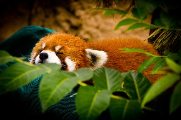 sleeping-red-panda